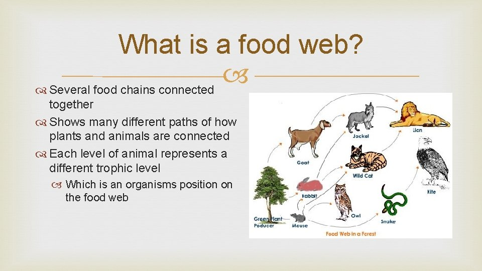 What is a food web? Several food chains connected together Shows many different paths