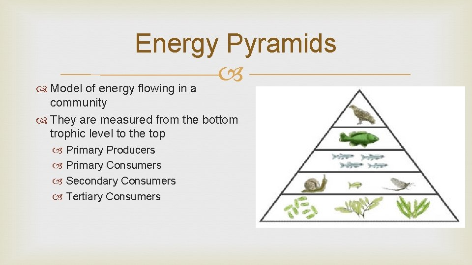 Energy Pyramids Model of energy flowing in a community They are measured from the