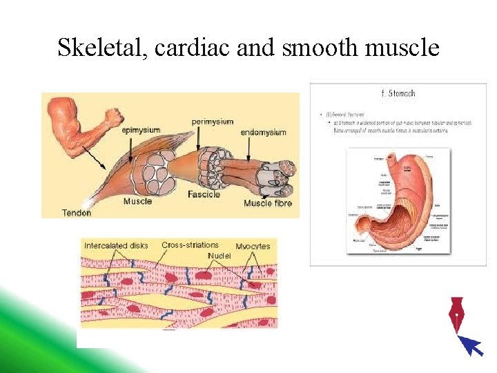 Skeletal, cardiac and smooth muscle