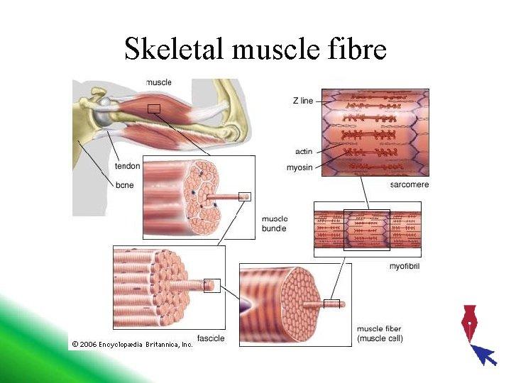 Skeletal muscle fibre