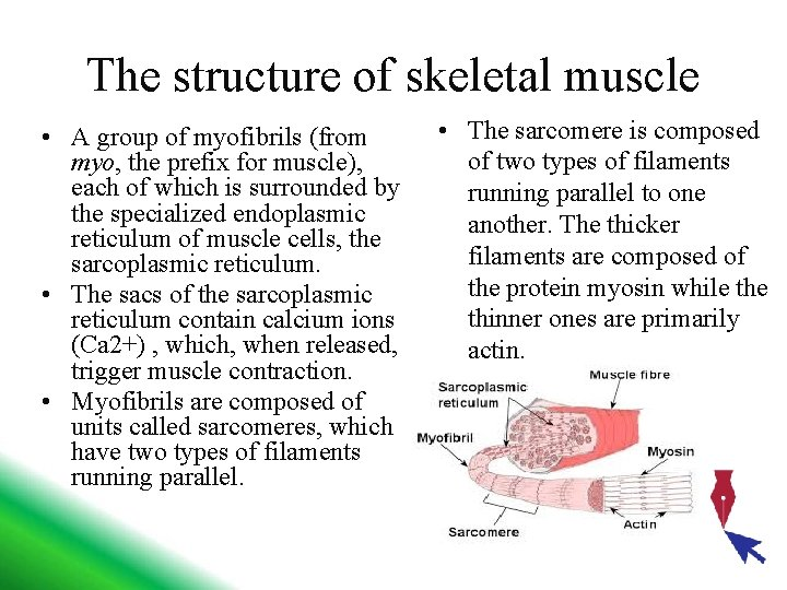 The structure of skeletal muscle • A group of myofibrils (from myo, the prefix