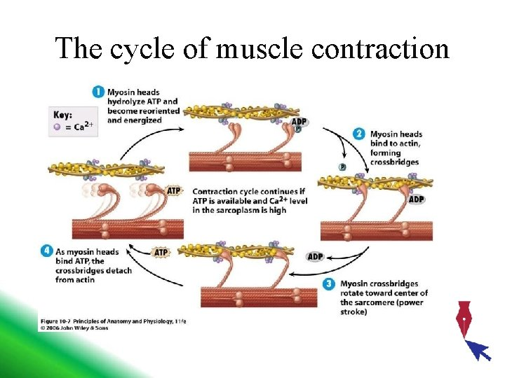 The cycle of muscle contraction
