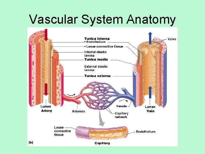 Vascular System Anatomy