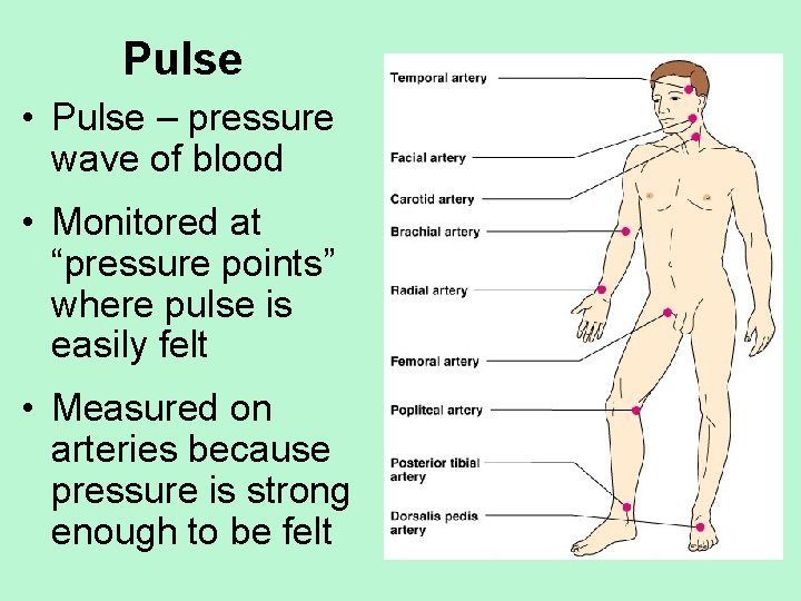 """Pulse • Pulse – pressure wave of blood • Monitored at """"pressure points"""" where"""