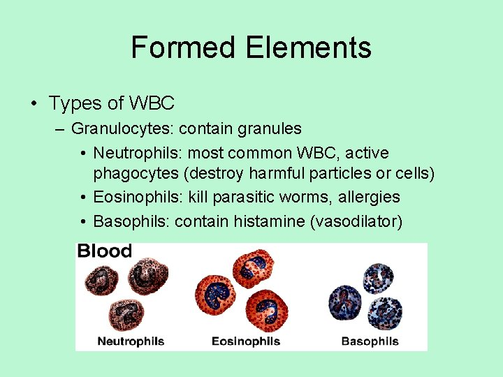 Formed Elements • Types of WBC – Granulocytes: contain granules • Neutrophils: most common