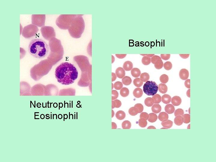 Basophil Neutrophil & Eosinophil