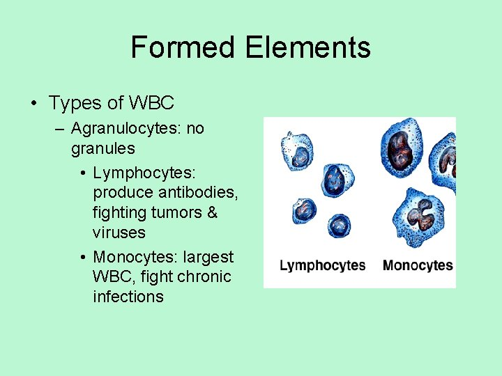 Formed Elements • Types of WBC – Agranulocytes: no granules • Lymphocytes: produce antibodies,