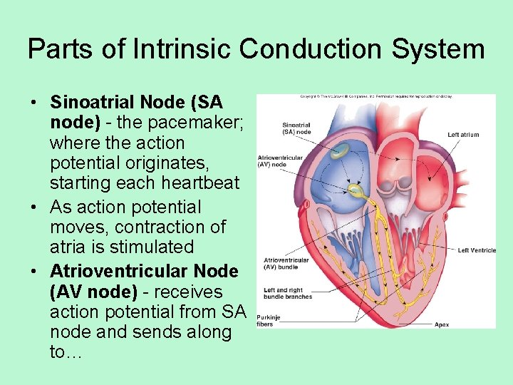 Parts of Intrinsic Conduction System • Sinoatrial Node (SA node) - the pacemaker; where