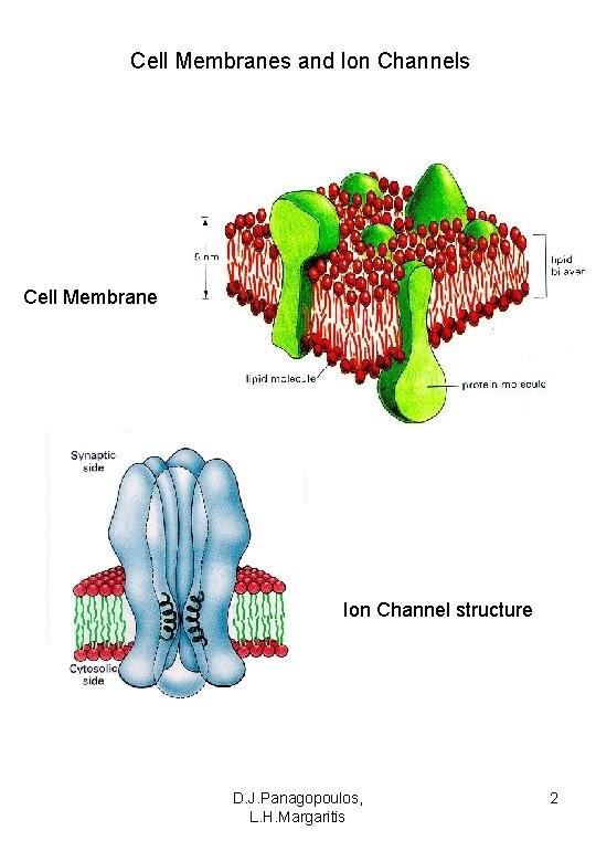 Cell Membranes and Ion Channels Cell Membrane Ion Channel structure D. J. Panagopoulos, L.