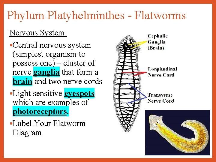 phylum platyhelminthes adalah nikvorm copii