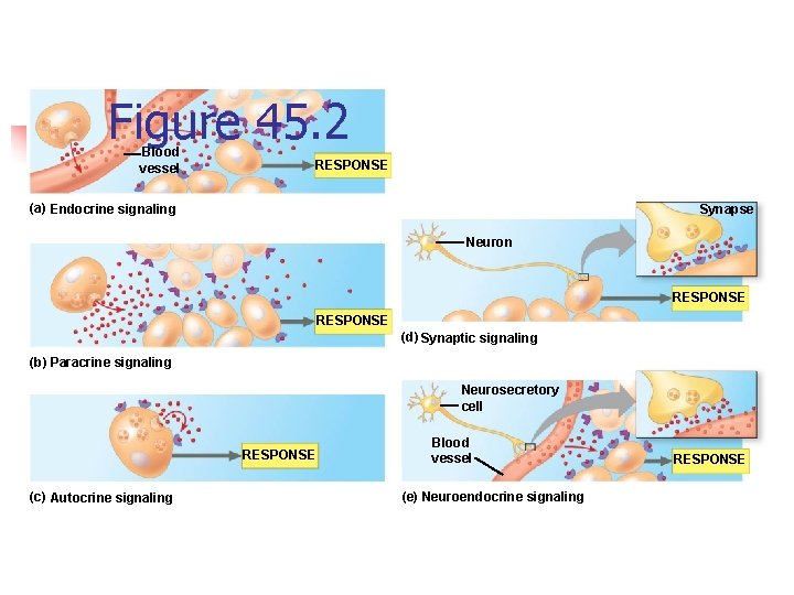 Figure 45. 2 Blood vessel RESPONSE (a) Endocrine signaling Synapse Neuron RESPONSE (d) Synaptic