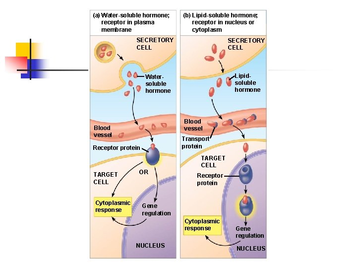 (a) Water-soluble hormone; receptor in plasma membrane (b) Lipid-soluble hormone; receptor in nucleus or