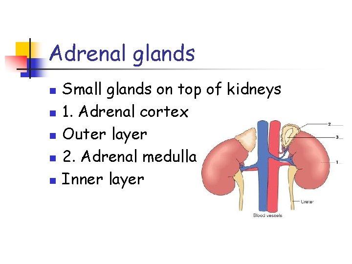 Adrenal glands n n n Small glands on top of kidneys 1. Adrenal cortex