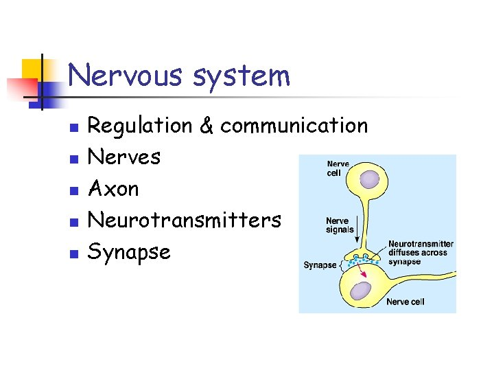 Nervous system n n n Regulation & communication Nerves Axon Neurotransmitters Synapse