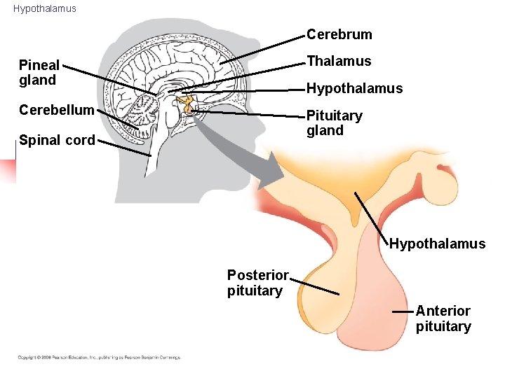 Hypothalamus Cerebrum Pineal gland Thalamus Cerebellum Pituitary gland Hypothalamus Spinal cord Hypothalamus Posterior pituitary