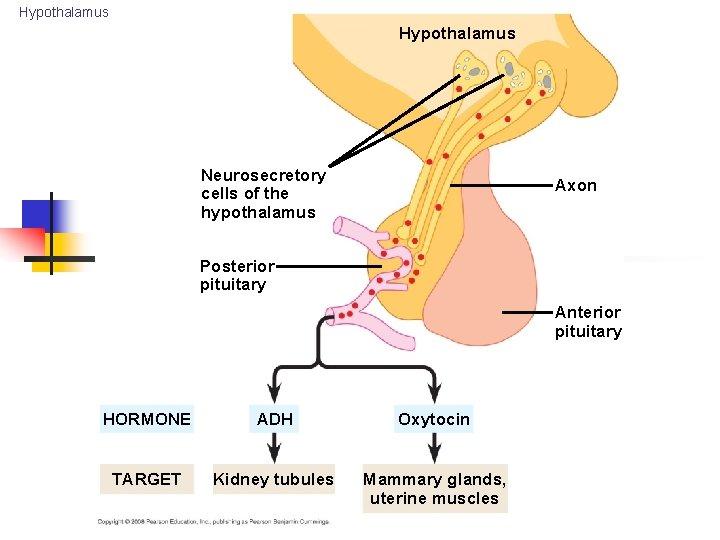 Hypothalamus Neurosecretory cells of the hypothalamus Axon Posterior pituitary Anterior pituitary HORMONE ADH Oxytocin