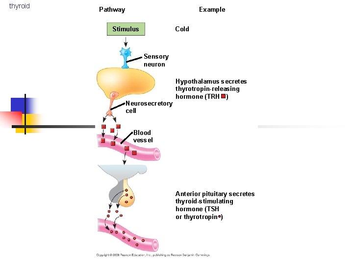 thyroid Example Pathway + Stimulus Cold Sensory neuron Neurosecretory cell Hypothalamus secretes thyrotropin-releasing hormone