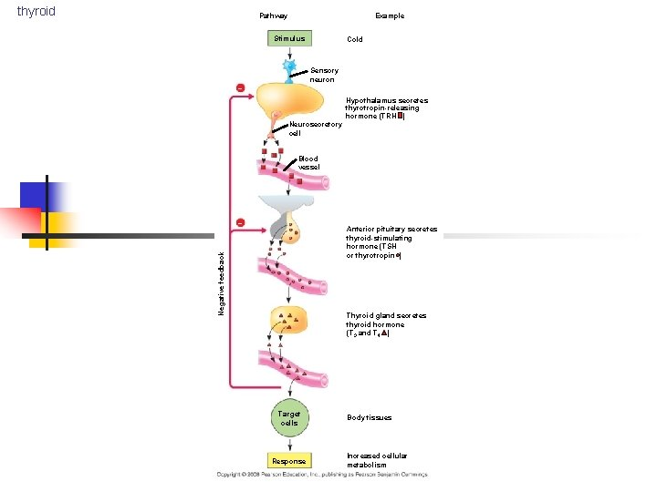 thyroid Pathway Example Stimulus Cold Sensory neuron – Hypothalamus secretes thyrotropin-releasing hormone (TRH )