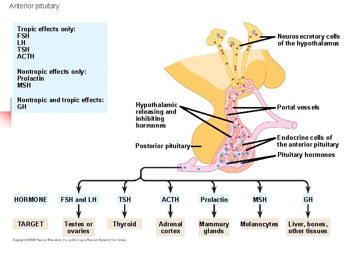 Anterior pituitary Tropic effects only: FSH LH TSH ACTH Neurosecretory cells of the hypothalamus