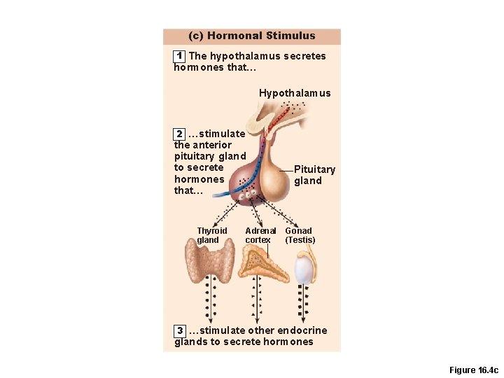(c) Hormonal Stimulus 1 The hypothalamus secretes hormones that… Hypothalamus 2 …stimulate the anterior