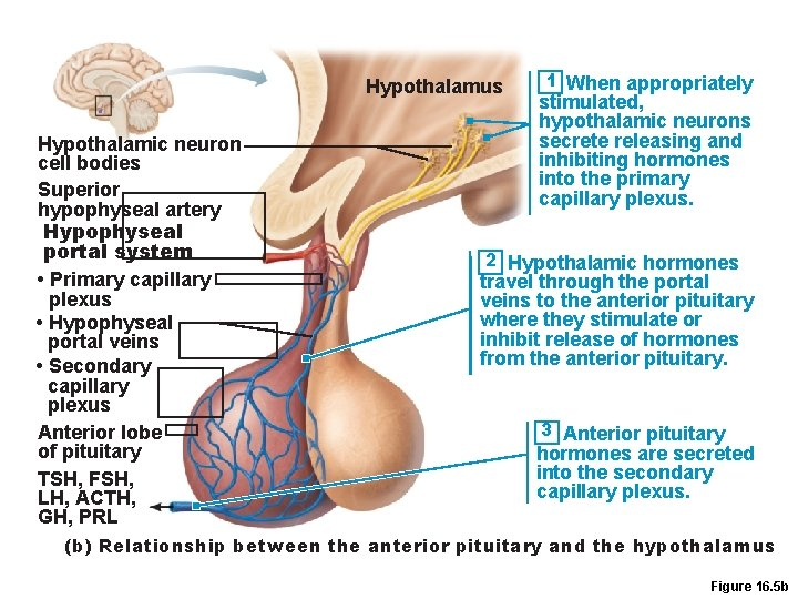 Hypothalamus Hypothalamic neuron cell bodies Superior hypophyseal artery Hypophyseal portal system • Primary capillary