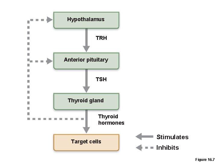 Hypothalamus TRH Anterior pituitary TSH Thyroid gland Thyroid hormones Target cells Stimulates Inhibits Figure