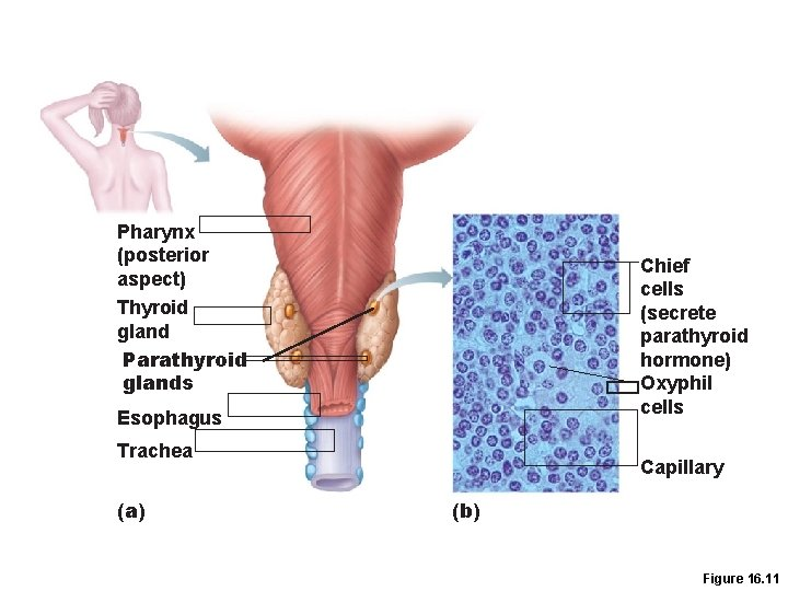Pharynx (posterior aspect) Thyroid gland Parathyroid glands Chief cells (secrete parathyroid hormone) Oxyphil cells