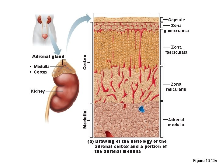 Adrenal gland • Medulla • Cortex Capsule Zona glomerulosa Zona fasciculata Zona reticularis Medulla