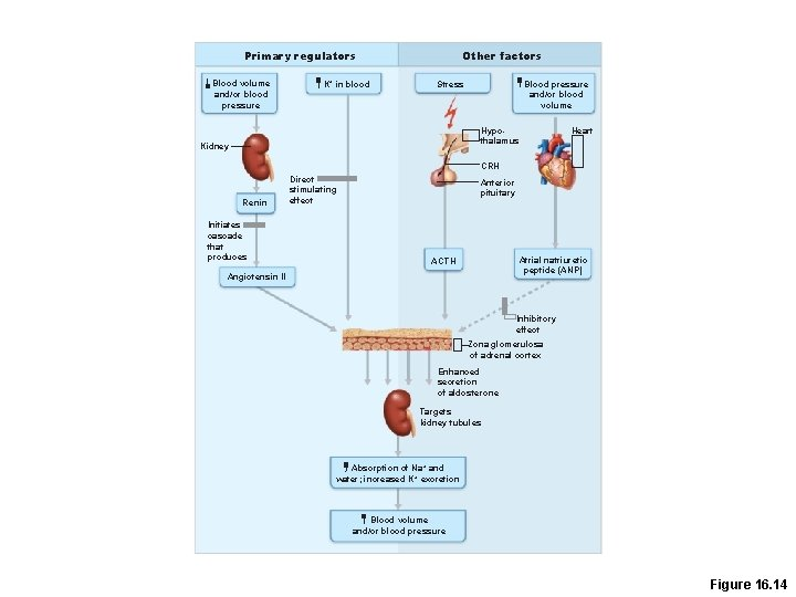 Primary regulators Blood volume and/or blood pressure K+ in blood Other factors Stress Blood