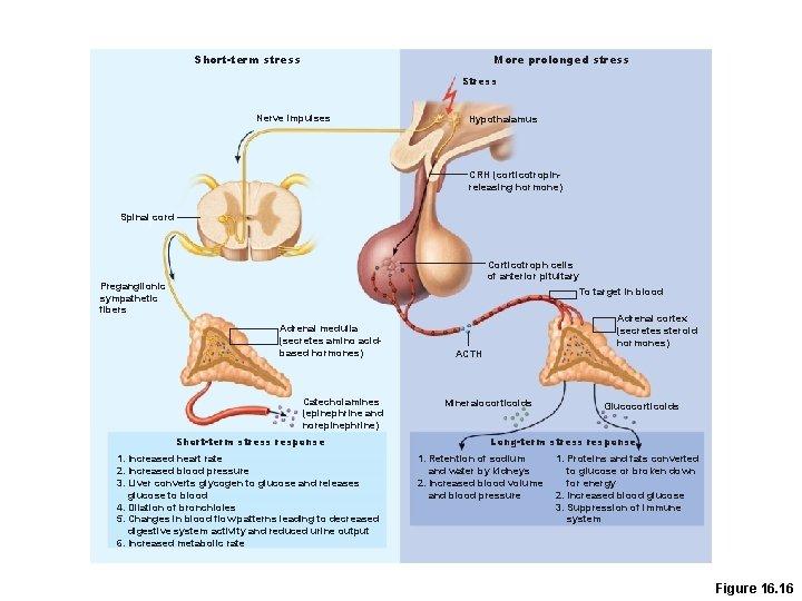 Short-term stress More prolonged stress Stress Nerve impulses Hypothalamus CRH (corticotropinreleasing hormone) Spinal cord