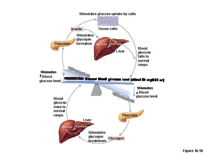 Stimulates glucose uptake by cells Tissue cells Insulin Pancreas Stimulates glycogen formation Glucose Glycogen
