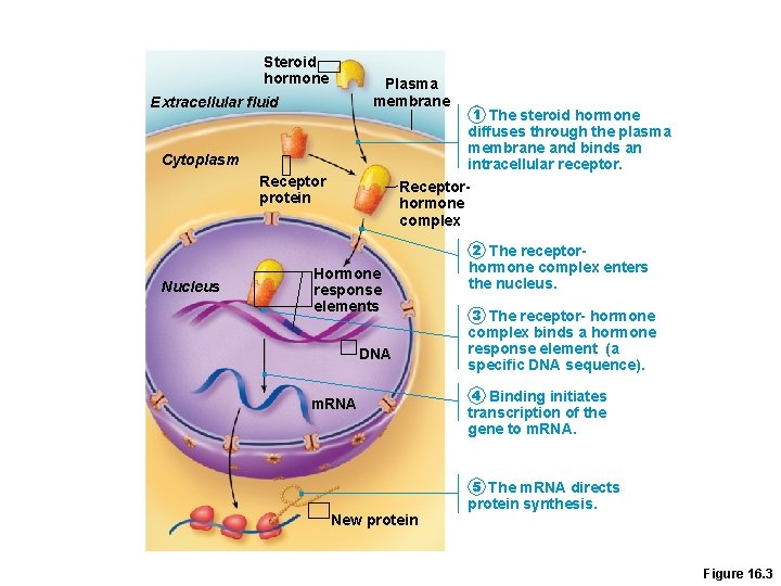 Steroid hormone Plasma membrane Extracellular fluid 1 The steroid hormone diffuses through the plasma