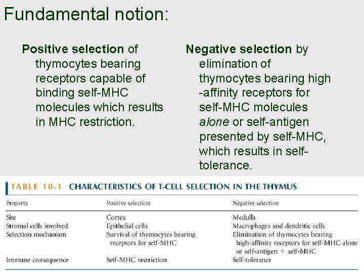 Fundamental notion: Positive selection of thymocytes bearing receptors capable of binding self-MHC molecules which