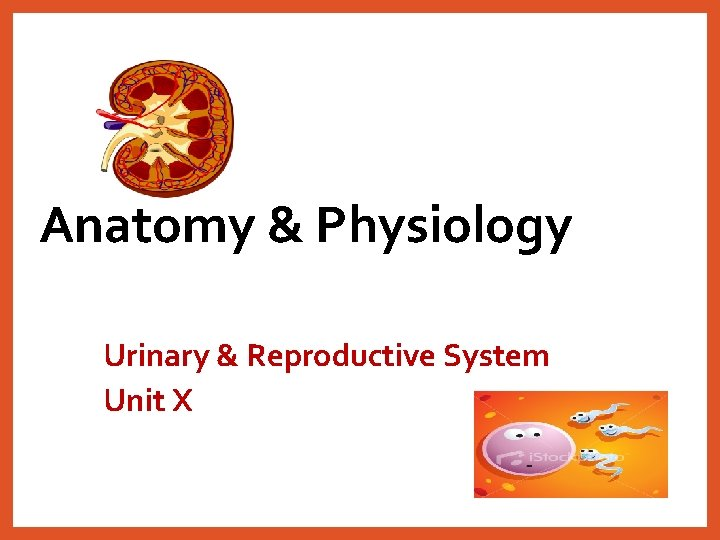 Anatomy & Physiology Urinary & Reproductive System Unit X
