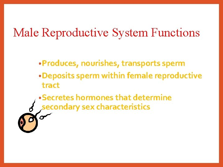 Male Reproductive System Functions • Produces, nourishes, transports sperm • Deposits sperm within female