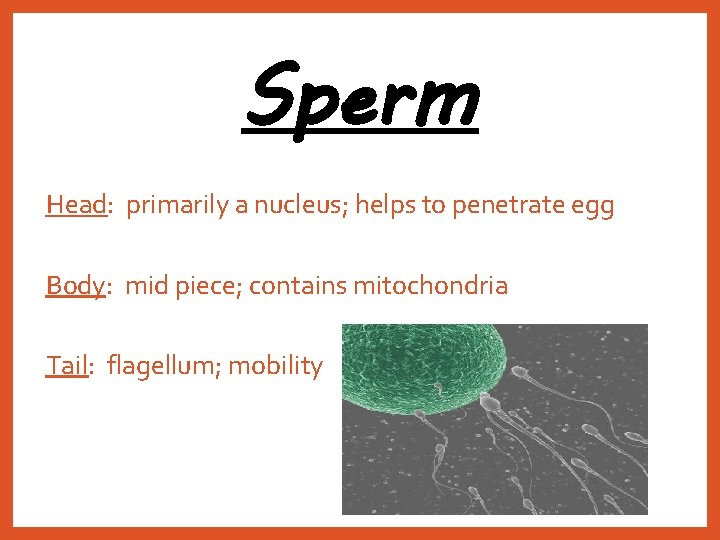 Sperm Head: primarily a nucleus; helps to penetrate egg Body: mid piece; contains mitochondria