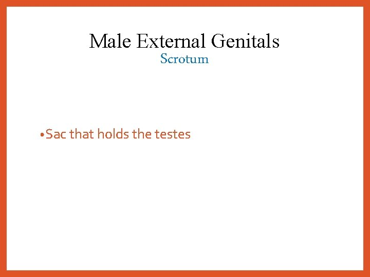Male External Genitals Scrotum • Sac that holds the testes