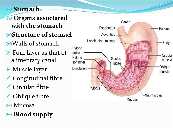 Stomach Organs associated with the stomach Structure of stomach Walls of stomach Ø