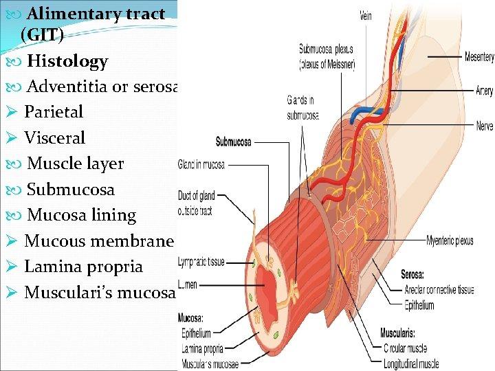 Alimentary tract (GIT) Histology Adventitia or serosa Ø Parietal Ø Visceral Muscle layer