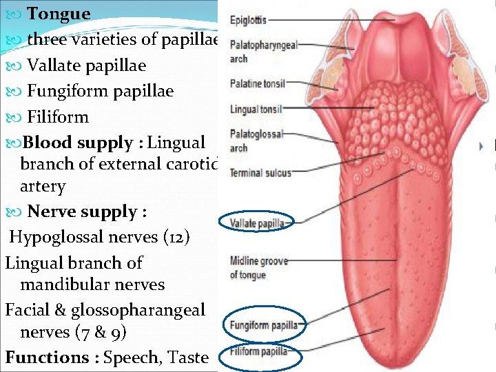 Tongue three varieties of papillae Vallate papillae Fungiform papillae Filiform Blood supply :
