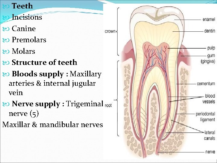 Teeth Incisions Canine Premolars Molars Structure of teeth Bloods supply : Maxillary arteries