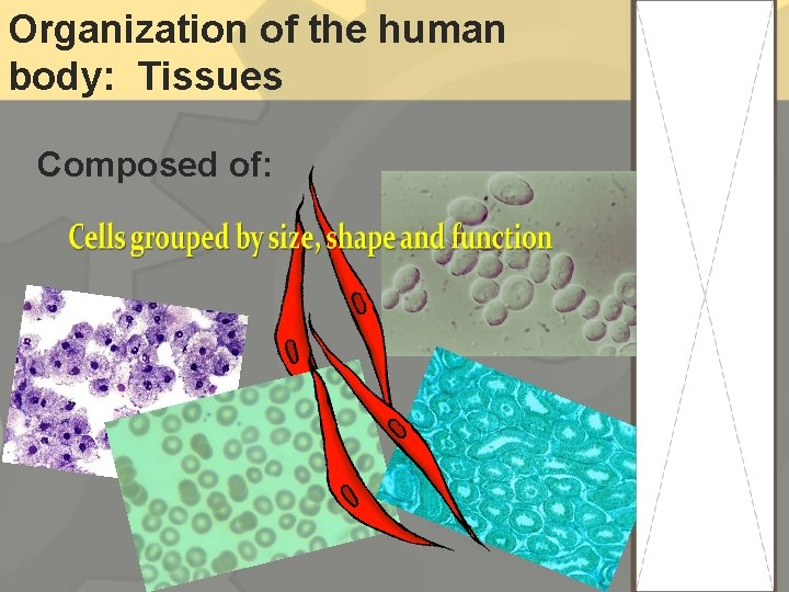 Organization of the human body: Tissues Composed of: