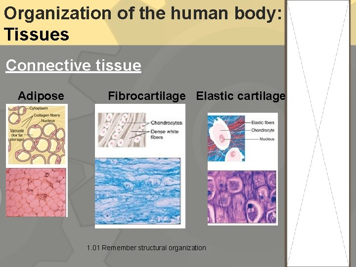 Organization of the human body: Tissues Connective tissue Adipose Fibrocartilage Elastic cartilage 1. 01