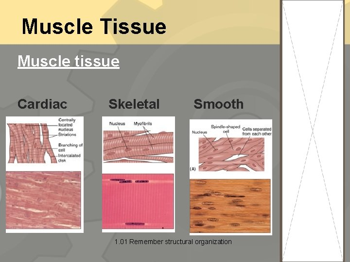 Muscle Tissue Muscle tissue Cardiac Skeletal Smooth 1. 01 Remember structural organization 20