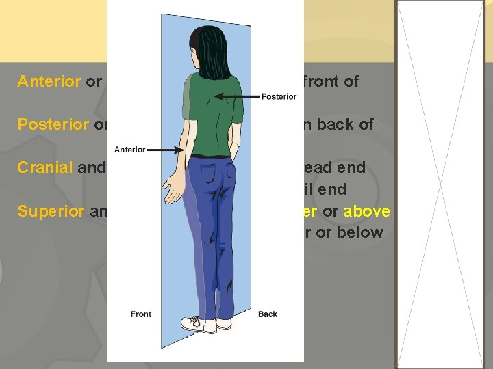 Anterior or ventral -----front or in front of Posterior or dorsal ------back or in
