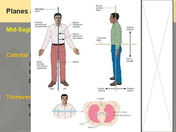 Planes and Sections Mid-Sagittal plane ---divides the body into right and left parts Coronal