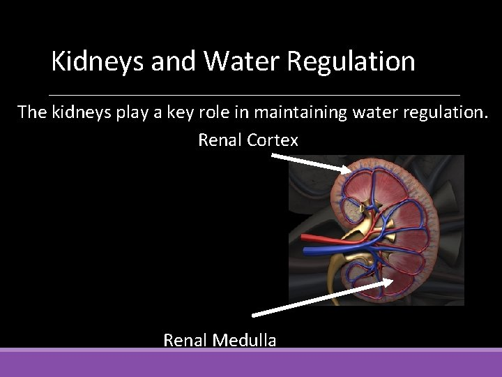 Kidneys and Water Regulation The kidneys play a key role in maintaining water regulation.