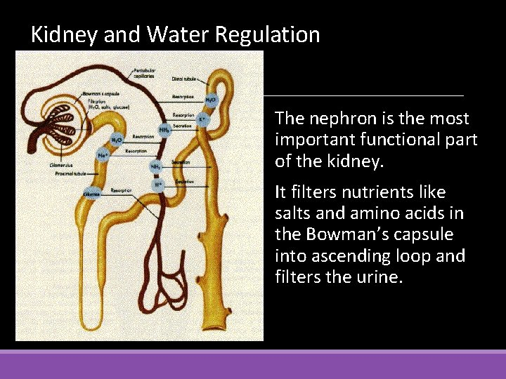 Kidney and Water Regulation The nephron is the most important functional part of the