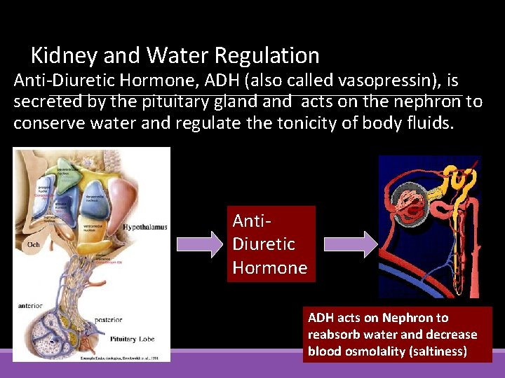 Kidney and Water Regulation Anti-Diuretic Hormone, ADH (also called vasopressin), is secreted by the