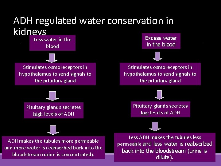 ADH regulated water conservation in kidneys Excess water Less water in the blood Stimulates